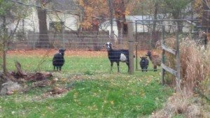 All four goats at the fence.